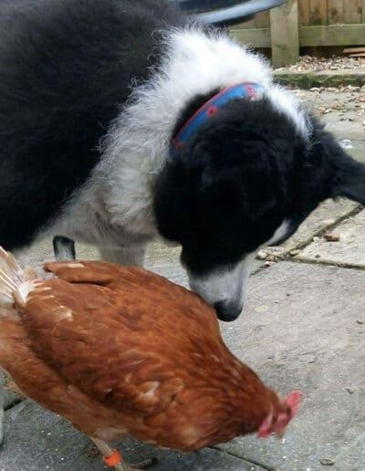 buy ex battery hens