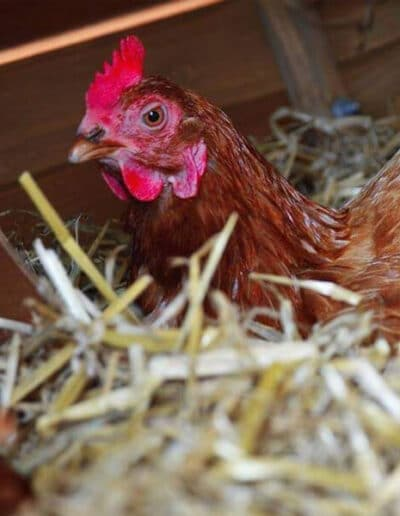 Give A Hen A Home - 5